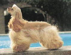 Beautiful Buff Cocker Spaniel