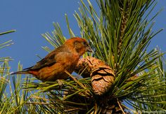 Male Red Crossbill