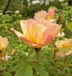 """Fortune's double yellow UK. Fortune, 1845. """"R. odorata pseudoindica, Beauty of Glazenwood, San Raphael Rose, Gold of Ophir, Wang-Jan-Vè"""". Una pianta notevole che può essere utilizzata sia come esemplare isolato che come rampicante. Dona una sola lunga fioritura profumata, i fiori grandi semidoppi portati a mazzetti sono di un bel giallo arancio. Questa rosa è stata trovata da Fortune nel giardino di un mandarino cinese. m 2,50x2,00."""