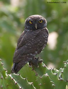 Spotted Owlet (Athene brama) dark plumage. Photo by Kulashekara Chakravarthy.