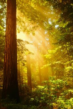 "~~Inspiring Redwoods ~ Crepuscular rays of sunlight bursting through the mist, northern California by IronRodArt - Royce Bair (""Star Shooter"")~~"