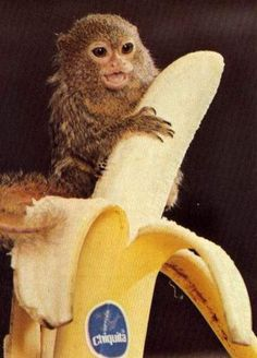 Baby Monkey With A Banana Cute Monkey Pictures Small Monkey, Cute Baby Monkey, Cute Baby Animals, Funny Animals, Animal Babies, Small Animals, Marmoset Monkey, Pygmy Marmoset, Monkey Pictures