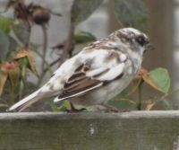 Leucistic house sparrow. Image - J. Jackman