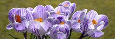 Purple flowers, crocus, spring, flowers wallpaper