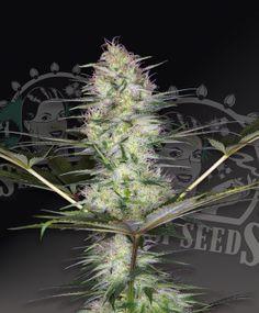 Bug Bud 2013 picture: http://buymarijuana.co.uk/