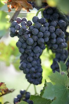 #raboso grape #bio #pizzolato