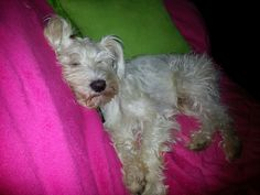 #Schnauzer #dog #sleepy