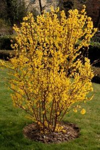 Forsythia shrubs can grow rather large. Click in for eHow's tips on how to properly prune and take care of the shrub to maintain its natural shape while encouraging healthy and lush flowering. Bushes And Shrubs, Garden Shrubs, Flowering Shrubs, Diy Garden, Garden Cottage, Garden Care, Lawn And Garden, Garden Plants, Yellow Flowering Bush