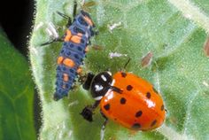 Ladybugs, or lady beetles, are beneficial insects. The convergent lady beetle, pictured here, is commonly sold for biological control of aphids.