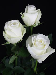 Rose Pictures, Great Pictures, Flower Photos, Beautiful Roses, Beautiful Flowers, Gorgeous Men, White Roses, White Flowers, Love Rose