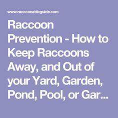 Cinnamon and pepper keep raccoons away garden garden - How to keep raccoons out of garden ...