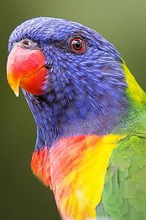 Rainbow Lorikeet - Trichoglossus Haematodus, from Australia Tropical Animals, Tropical Birds, Exotic Birds, Colorful Birds, Australian Parrots, Australian Icons, Beautiful Birds, Animals Beautiful, Bird Barn