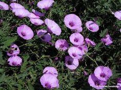 campanicas lilas