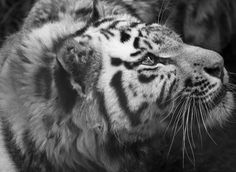 Check out Tiger by MarcoGovel on Creative Market