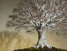What a stunning tree! Japanese Zelkova, belonging to the The Omiya Bonsai Art…