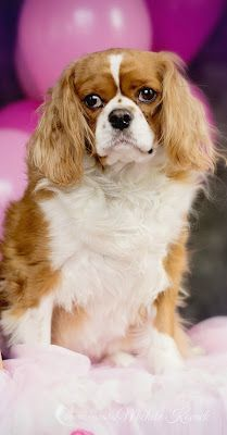 Myla the King Charles Cavalier Spaniel from Thoughts of a Cardmaking Scrapbooker! #pets #petphotography #dogs