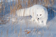 Arctic Animals, Arctic Fox, Fox Pictures, Fox Art, Wild Dogs, Fluffy Animals, Life Images, Polar Bear, Animal Kingdom