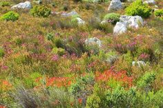 "The smell of ""fynbos"" – unique to the Cape, South Africa."