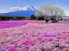 Pink flowers at Fuji Mountain, Japan
