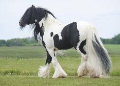 Hevonen myytavana - Tinker ->Irlannincob Hevonen Saksa Мain hevonen Myytävänä Alex