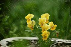 pluie et fleurs jaunes