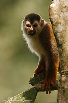 Squirrel Monkey by Juan Carlos Vindas, via 500px
