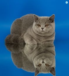 british shorthair by Gintare P.
