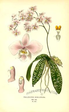 Antique print: picture of Orchid (Phaelaenopsis schilleriana) - Philippines by Edward Step c. 1896