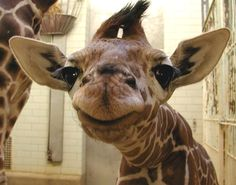 "What a face!   Cheyenne Mountain Zoo in Colorado Springs knows giraffe calf ""Msitu"" (ma-SEE-tw​o) – meaning ""forest of acacia trees"" in Swahili loves the spotlight!"