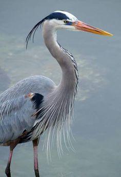 Great Blue Heron (photo by fail avenger) by carter flynn Pretty Birds, Love Birds, Beautiful Birds, Animals Beautiful, House Beautiful, Blue Heron, Sea Birds, Wild Birds, Vogel Illustration