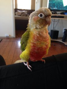 My Pineapple Conure, Bobbie.