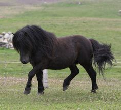 My first horse was a Shetland, QH cross named Midnight! She was deep brown like this guy.