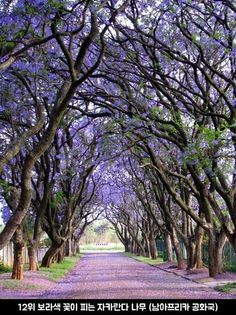 16 of the most magnificent trees in the world aka nature at its finest pictured above: Jacarandas in Cullinan, South Africa Beautiful Streets, Beautiful World, Beautiful Places, Beautiful Flowers, Beautiful Roads, Stunningly Beautiful, Amazing Places, Tree Tunnel, Pathways