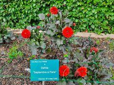 Dahlia, Parc Floral, Paris, Flowers, Montmartre Paris, Paris France, Dahlias