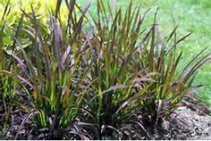 Oryza Sativa Black Madras Oryza Sativa 39 Black Madras 39 Water Garden Plants, Black Rice, Grass, Seeds, Nature, Image, Lyon, Yard, Outdoors
