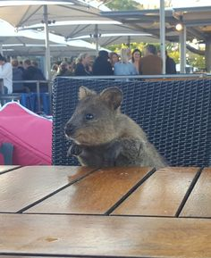 """Quokka: """"Hello I'll have one beer please"""" http://ift.tt/2iKfHsY"""