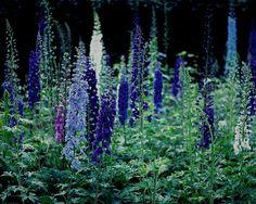 Delphinium Photograph, Purple Flower Print, English Garden Picture, Nature Photography, Dark Flower Artwork, Cottage Home Decor