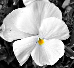 White pansy with yellow center