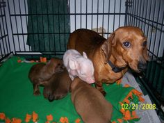 baby piggy with baby dachshunds :)