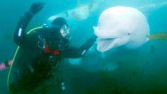 Diving with Beluga in Hudson Bay, Manitoba. Canada