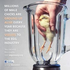 Awful and completely true. Instead of supporting the egg industry, go vegan or better yet, buy your own chickens and raise eggs in a humane environment!