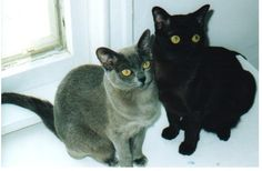The Burmese is a domestic cat breed indigenous to Burma, owing its development to the US and the UK. Burmese Kittens, Lily Cat, Balinese Cat, Burma, Ocicat, Himalayan Cat, Exotic Shorthair, Norwegian Forest Cat, Small Cat