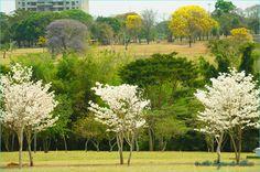 Ipê branco, ipê amarelo e ipê roxo, three colors, one tree, Brazil