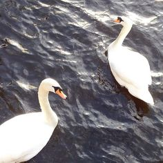 Swan surprise on the canal #leidencity #swansong #swanpair #thenetherlands