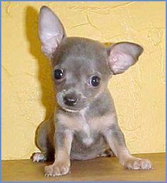chihuahua.....I LOVE!!!!-pka