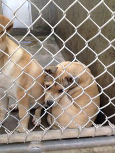 URGENT****2 lab mix female less than 4 months old -- Kennel A12 Available NOW**$35 to adopt Fosters are welcome too! Located at Odessa, Texas Animal Control https://www.facebook.com/speakingupforthosewhocant/photos/a.248402621850650.69312.248355401855372/735252383165669/?type=1&theater