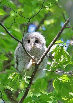 Ural Owl(Strix uralensis japonica )エゾフクロウ
