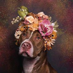 """La peur, des chiens comme des hommes, Sophie Gamand (@sophiegamand) la combat avec des fleurs. Dans sa série Flower Power, elle pare les pitbulls d'une couronne de fleurs afin de contrer leur mauvaise image. """"Les gens ont peur d'adopter les pittbulls et beaucoup d'entre eux finissent euthanasiés, dit Sophie, lyonnaise installée aux États-Unis. Moi-même, j'avais peur des pitbulls, je pensais qu'il était irresponsable de les laisser vivre dans nos communautés. Alors j'ai décidé, de me faire ma…"""