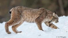 Big Lynx from a distance.
