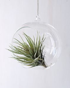 Air Plants, no need to remember to water! What?!
